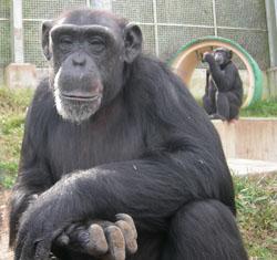 chimp_web